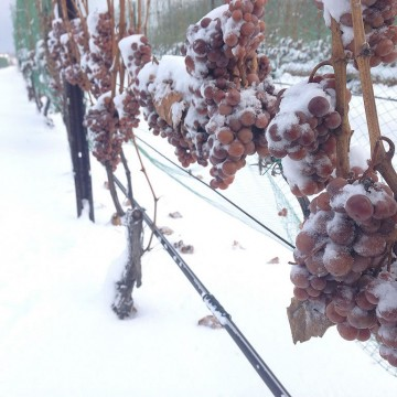SnowOnGrapes