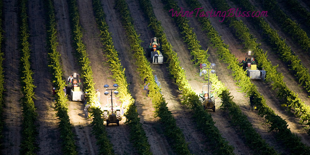 Why Pick Wine Grapes at Night?