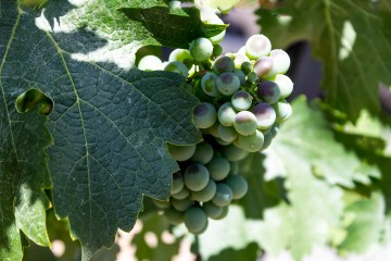 Grapes are ripening