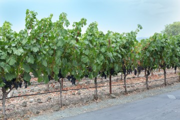 Peju grape vines