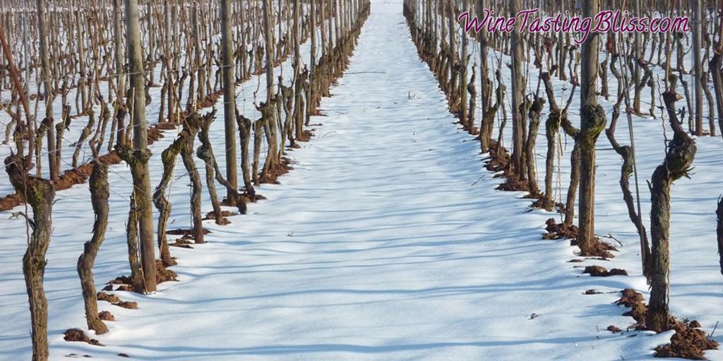 The Vines Prepare for Winter