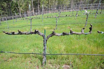 Winter pruning vines