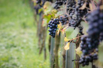 Pinot Noir grapes in Burgundy