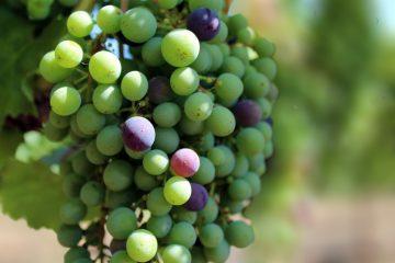 veraison berries