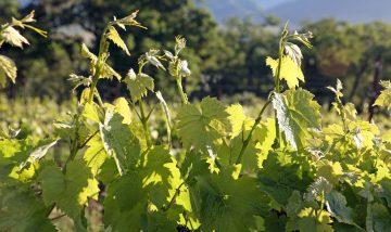 Vineyard Suckers