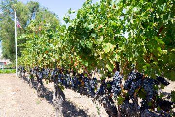 Retzlaff Vines