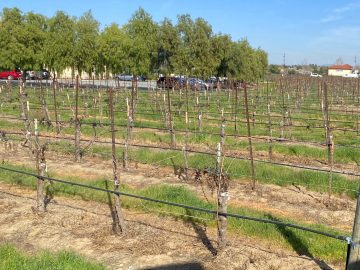 Valentines Day grafted vines