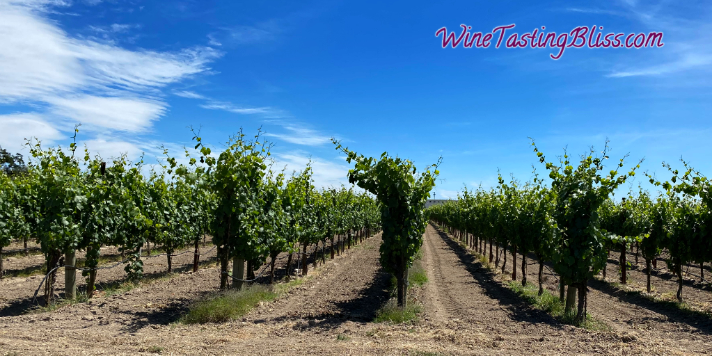 Vineyards in Mid-Summer