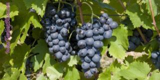 Celebrating the Cinsault Grape