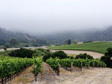 Oceano Vineyard Fog