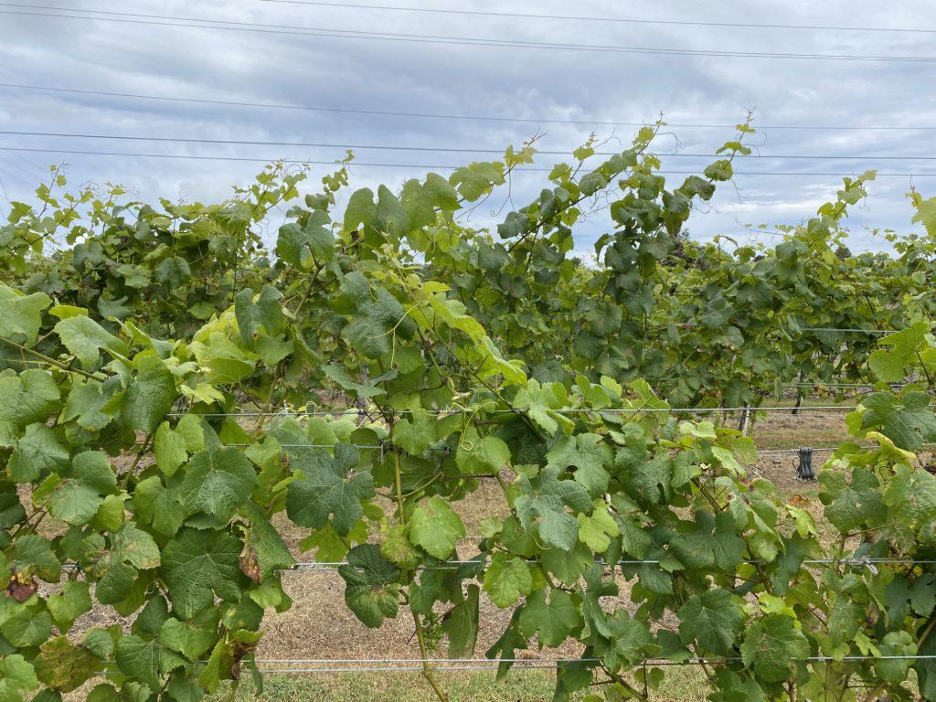 Volcano Winery Grape Vines