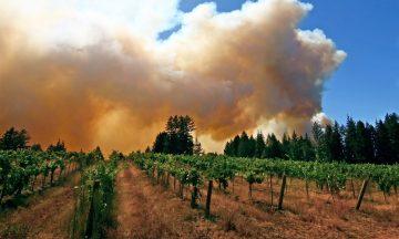 Smoke Taint Vineyard